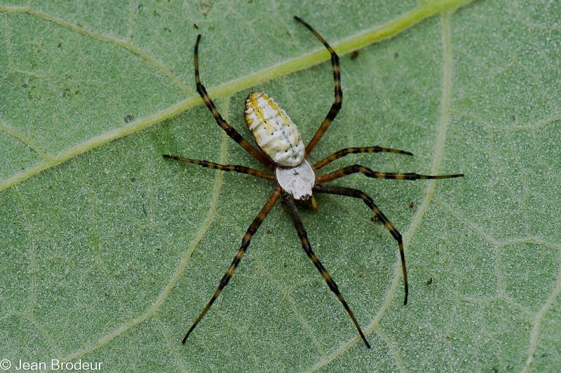 Argiope trifasciata, Banded Garden Spider , Araneidae<br /> 9919, Ste-Dorothée, Laval, Québec, été 2010