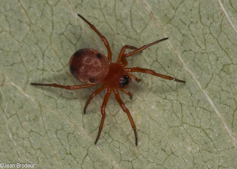Hypsosinga rubens femelle<br /> MG 2238 ,St-Hugues, Quebec,16 mai 2012