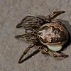 Larinioides cornutus parasité, Araneidae<br /> 5358, Mirabel, Quebec, 1 mai 2011