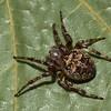 Larinioides patagiatus femelle,id Claude Simard 9981 ,Contrecoeur,Quebec,7 Juillet 2012