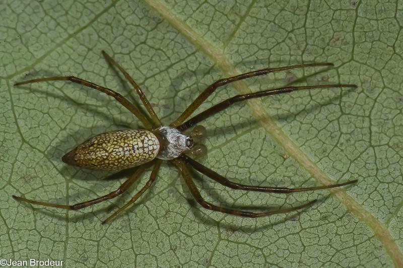 Argiope trifasciata male, Banded Garden Spider,<br /> 2244, Ste-Dorothée,Laval, Quebec,<br /> 13 aout 2011