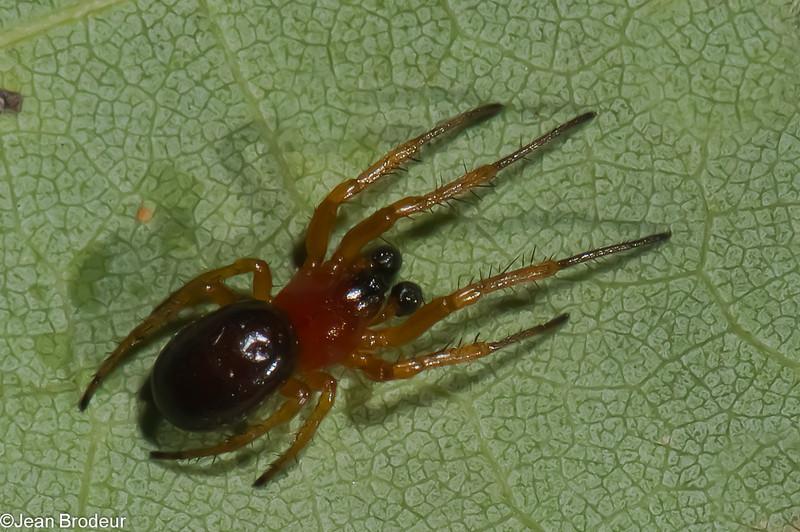 Hypsosinga rubens male, Dolophonini ,Araneidae<br /> 1321, Frelighsburg, Quebec, 6 aout 2011