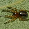 Singa keyserlingi <br /> 5779, Bois-des-Filion, Quebec<br /> 26 septembre 2011