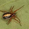 Hypsosinga pygmaea femelle, id, Claude Simard, Araneidae<br /> MG 3380 ,Longueuil, Boisé du Tremblay,Quebec 27 mai 2012