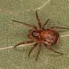 Hypsosinga pygmaea, Dolophonini ,Araneidae<br /> MG 3834, St-Hugues, Quebec, 23 octobre 2012