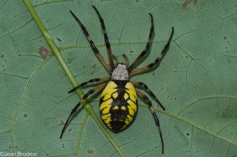 Argiope aurantia, Yellow garden spider, Argiopinae, Araneidae<br /> 0497, Parc les Salines, St-Hyacinthe, Quebec<br /> 2 aout 2011