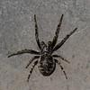 Larinioides sclopetarius male<br /> 8580, Boise du Tremblay, Longueuil, Quebec<br /> 13 mai 2011