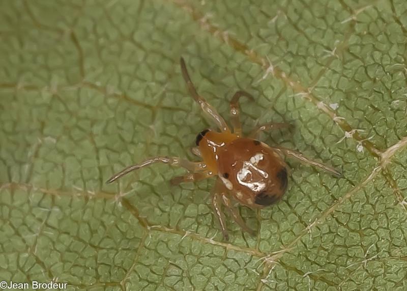 Hypsosinga rubens<br /> MG 8175 , Elgin, Quebec,19 Juillet 2012
