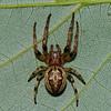 Larinioides cornutus<br /> 6389, Contrecoeur, Quebec, 3 juillet 2011