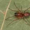 Emblyna sublata mâle,  Dictynidae,   id. Claude Simard<br /> MG 5972, Dundee, Quebec, 1 mai 2013