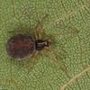 Dictyna sp. femelle<br /> MG 6240 , St-Hugues, Quebec, 24 juin 2012