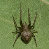 Eustala anastera<br /> 3187, Parc les Salines, St-Hyacinthe, Quebec<br /> 19 aout 2011