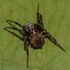 Acanthepeira stellata,  Araneidae<br /> 9136 ,La Prairie, Quebec,23 mai 2012