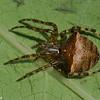 Araneus corticarius, Araneidae (Orb Weavers) <br /> 2778, St-Hugues, Québec, été 2010