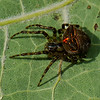 Araneus corticarius, Araneini, Araneinae, Araneidae (Orb Weavers) <br /> 5940, Boisé du Tremblay, Longueuil, Québec, été 2010