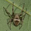 Eustala anastera, Humpbacked orbweaver,  Araneidae<br /> 1704, Parc les Salines,St-Hyacinthe, Quebec<br /> 9 aout 2011
