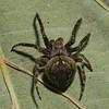 Eustala  anastera<br /> 8817, St-Hyacinthe,Parc les Salines, Quebec<br /> 13 avril 2012