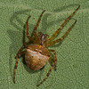 Araneus corticarius<br /> 4571,St-Hugues, Quebec, 9 septembre 2011