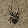 Eustala anastera, Mangorini, Araneinae, Araneidae<br /> 8283, Boise du Tremblay, Longueuil, Quebec<br /> 13 mai 2011