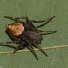 Eustala anastera, Mangorini, Araneinae, Araneidae<br /> 9431 ,St-Hugues ,Quebec,4 juin 2012