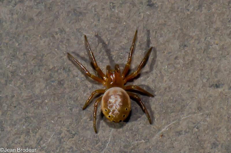 Araniella displicata, Araneidae, Sixspotted Orbweaver<br /> 6348, Mont Rougemont, Quebec, 8 mai 2011