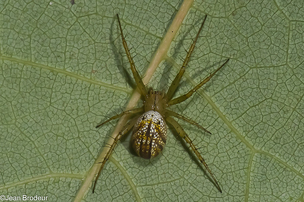Famille Araneidae : Araniella, Cyclosa, Mangora