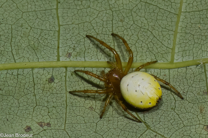 Araniella displicata, Cyclosini, Araneinae, Araneidae<br /> 3789, Parc les Salines, St-Hyacinthe, Quebec,<br /> 10 juin 2011
