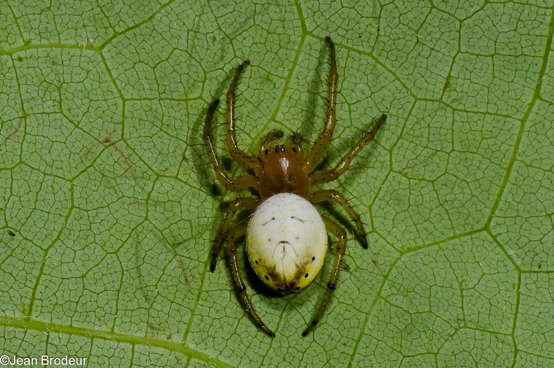 Araniella displicata, Araneidae, Sixspotted Orbweaver<br /> 2495, St-Hugues, Quebec, 3 juin 2011