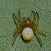 Araniella displicata , Cyclosini, Araneinae, Araneidae<br /> 2793, Mont Rougemont, Quebec, 5 juin 2011