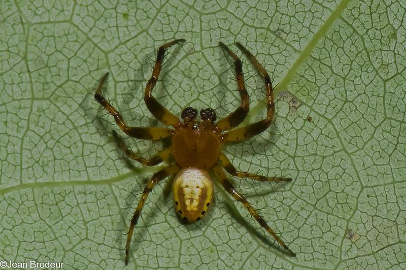 Araniella displicata male<br /> 3846, Parc les Salines, St-Hyacinthe, Quebec,<br /> 10 juin 2011