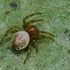 Araniella displicata, Araneidae (Orb Weavers) <br /> 0430, St-Hugues, Québec, été 2010