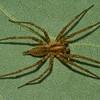 Agelenopsis sp.  Agelenidae (Funnel-Web Spiders)<br /> 1449, St-Hugues, Quebec, 7 aout 2011
