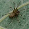 La tégénaire domestique , Tegenaria domestica , Agelenidae (Funnel-Web Spiders) <br /> 8158, St-Hugues, Québec, été 2010