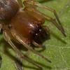 Clubiona obesa femelle.<br /> 0593, Parc les Salines, St-Hyacinthe, Quebec<br /> 30 mai 2011