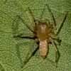 Clubiona canadensis, Clubionidae<br /> 4804, Parc les Salines, St-Hyacinthe, Quebec<br /> 15 septembre 2011