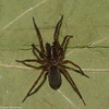 Wadotes calcaratus male , Agelenidae<br /> id.Claude Simard<br /> 1175, St-Hugues, Quebec, 26 octobre 2012
