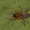 Clubionidae obesa femelle (Sac Spiders) <br /> 0593, Parc les Salines, St-Hyacinthe, Quebec<br /> 30 mai 2011