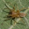 Clubiona maritima , Clubionidae (Sac Spiders)<br /> 8837, Ste-Dorothée, Laval, Québec, été 2010