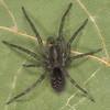 Agelenidae sp. male, id. Claude Simard<br /> MG 6646, St-Hyacinthe, Quebec, 29 juin 2012