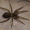 Coras sp.  Agelenidae (Funnel-Web Spiders)<br /> 5640, St-Hugues, Quebec, 2 mai 2011