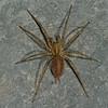 Agelenopsis sp male,  Agelenidae (Funnel-Web Spiders)<br /> 7839, Parc les Salines,St-hyacinthe, Quebec<br /> 19 juillet 2011