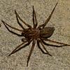 Coras sp.,  Agelenidae (Funnel-Web Spiders)<br /> 7141, St-Hugues, nov 2010