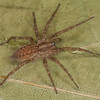 Agelenopsis sp.femelle. immature, Agelenidae<br /> id.Claude Simard<br /> MG 3712, St-Hugues, Quebec,18 octobre 2012