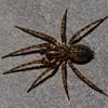 Coras sp.  Agelenidae (Funnel-Web Spiders)<br /> 6548, Parc les Salines, St-Hyacinthe, Quebec<br /> 9 mai 2011