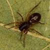 Castianeira sp., Corinnidae (Antmimics)<br /> MG 1129, St-Hugues, Quebec,1 mai 2012