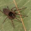 Neoantistea magna male,Hahniidae, id Claude Simard <br /> MG 8858 , St-Hugues,Quebec,28 Juillet 2012