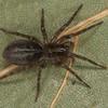 Amaurobiidae sp. <br /> MG 6136, St-Hugues, Québec,2 mai 2013