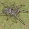 Pardosa sp. femelle,  Lycosidae,  id. Claude Simard<br /> MG 1335, Les Escoumins, Québec, 9 aout 2013