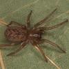 Amaurobiidae sp. <br /> MG 5456, Rougemont, Québec, 29 avril 2013