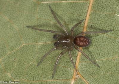Les Familles ;Amaurobiidae, Lycosidae
